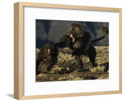 A Male Gelada-Michael Nichols-Framed Photographic Print