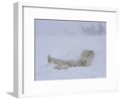 A Polar Bear Rolls About in a Snow Drift-Norbert Rosing-Framed Photographic Print