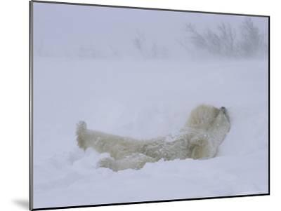 A Polar Bear Rolls About in a Snow Drift-Norbert Rosing-Mounted Photographic Print