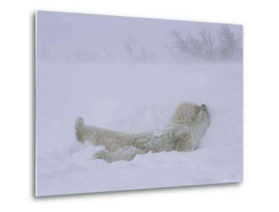 A Polar Bear Rolls About in a Snow Drift-Norbert Rosing-Metal Print