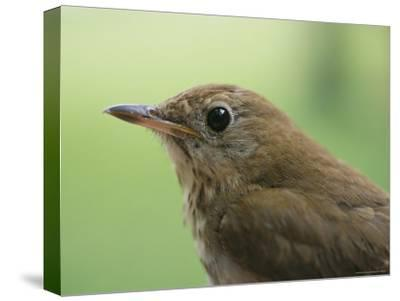 A Close View of the Head and Shoulders of a Wren-Bill Curtsinger-Stretched Canvas Print