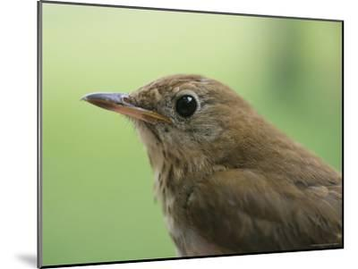 A Close View of the Head and Shoulders of a Wren-Bill Curtsinger-Mounted Photographic Print