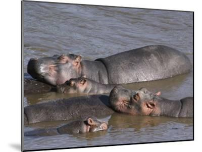 A Group of Hippos Cool off in Water-Medford Taylor-Mounted Photographic Print