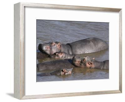 A Group of Hippos Cool off in Water-Medford Taylor-Framed Photographic Print