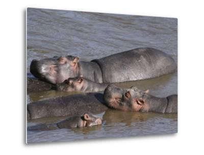 A Group of Hippos Cool off in Water-Medford Taylor-Metal Print
