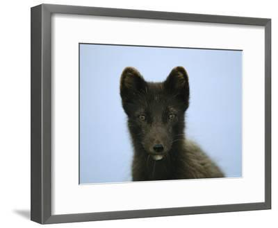 Portrait of an Arctic Fox in its Summer Coat-Joel Sartore-Framed Photographic Print
