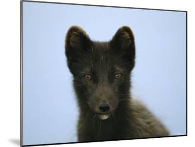 Portrait of an Arctic Fox in its Summer Coat-Joel Sartore-Mounted Photographic Print
