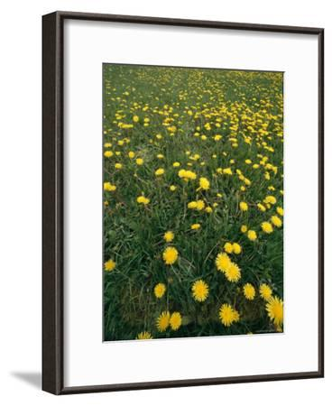 A Dandelion Filled Field in Rogers Pass-Michael S^ Lewis-Framed Photographic Print