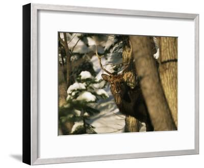 A Male Sika Deer in a Snowy Forest-Tim Laman-Framed Photographic Print