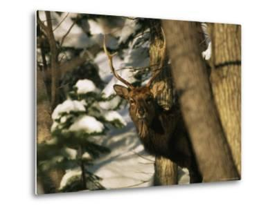 A Male Sika Deer in a Snowy Forest-Tim Laman-Metal Print