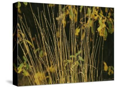 A Close View of Sedges-Raymond Gehman-Stretched Canvas Print