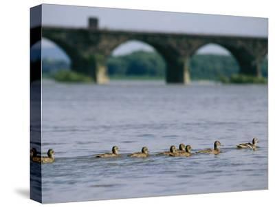 Ducks Paddle Across the Susquehanna River Near the Rockville Bridge-Raymond Gehman-Stretched Canvas Print