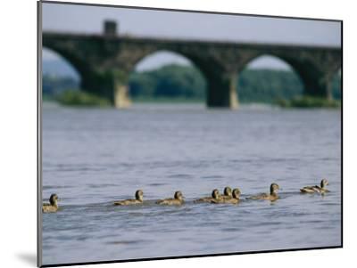 Ducks Paddle Across the Susquehanna River Near the Rockville Bridge-Raymond Gehman-Mounted Photographic Print