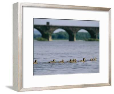 Ducks Paddle Across the Susquehanna River Near the Rockville Bridge-Raymond Gehman-Framed Photographic Print