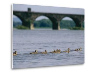 Ducks Paddle Across the Susquehanna River Near the Rockville Bridge-Raymond Gehman-Metal Print
