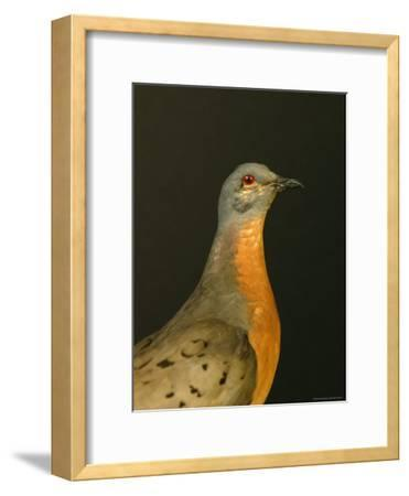 A Stuffed and Mounted Passenger Pigeon on Display at a Museum-Joel Sartore-Framed Photographic Print