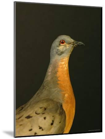 A Stuffed and Mounted Passenger Pigeon on Display at a Museum-Joel Sartore-Mounted Photographic Print