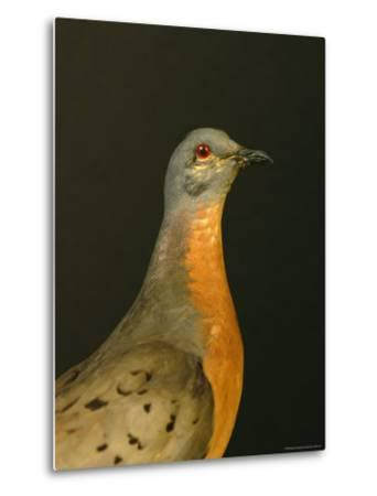 A Stuffed and Mounted Passenger Pigeon on Display at a Museum-Joel Sartore-Metal Print
