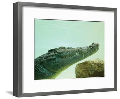An Estuarine Saltwater Crocodile Underwater with Eyes and Jaw Shut-Jason Edwards-Framed Photographic Print