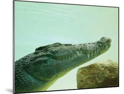 An Estuarine Saltwater Crocodile Underwater with Eyes and Jaw Shut-Jason Edwards-Mounted Photographic Print