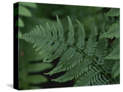 Close-up of a Fern-Stephen Alvarez-Stretched Canvas Print