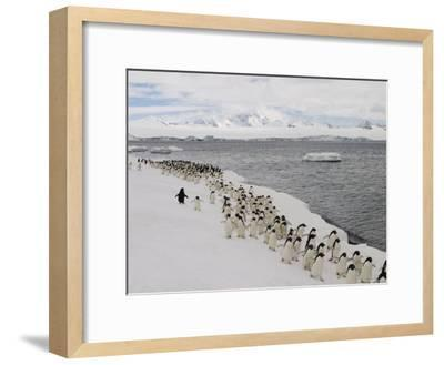 A Group of Adelie Penguins Walking Along the Waters Edge-Ralph Lee Hopkins-Framed Photographic Print