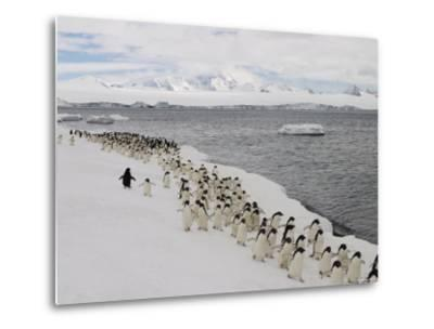 A Group of Adelie Penguins Walking Along the Waters Edge-Ralph Lee Hopkins-Metal Print