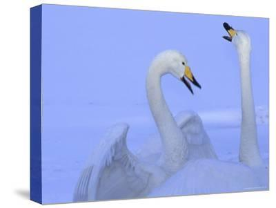 A Pair of Whooper Swans in Morning Light-Tim Laman-Stretched Canvas Print