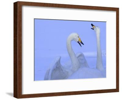A Pair of Whooper Swans in Morning Light-Tim Laman-Framed Photographic Print