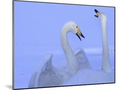 A Pair of Whooper Swans in Morning Light-Tim Laman-Mounted Photographic Print