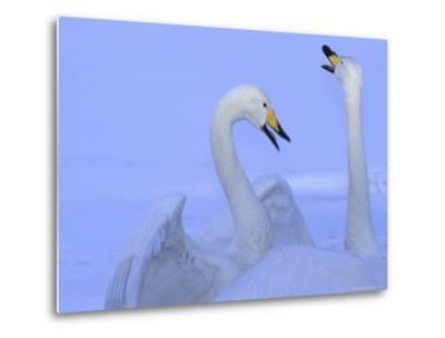 A Pair of Whooper Swans in Morning Light-Tim Laman-Metal Print