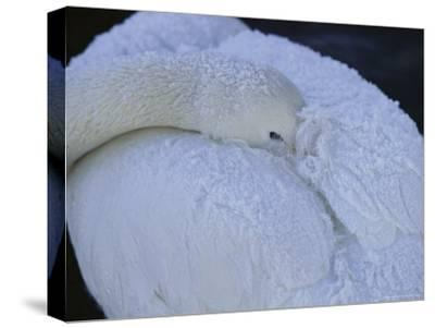 A Whooper Swan Resting with Bill Tucked under Wings-Tim Laman-Stretched Canvas Print
