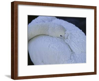 A Whooper Swan Resting with Bill Tucked under Wings-Tim Laman-Framed Photographic Print