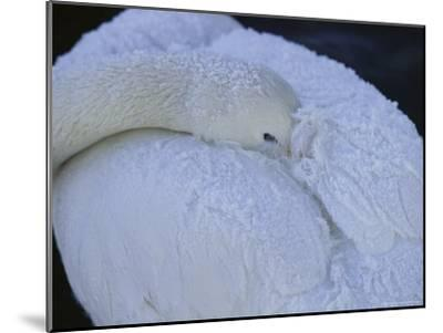 A Whooper Swan Resting with Bill Tucked under Wings-Tim Laman-Mounted Photographic Print