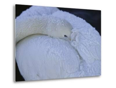 A Whooper Swan Resting with Bill Tucked under Wings-Tim Laman-Metal Print