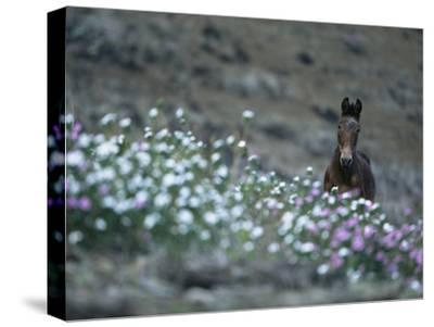 A Wild Horse on a Wildflower-Covered Hillside-Tim Laman-Stretched Canvas Print