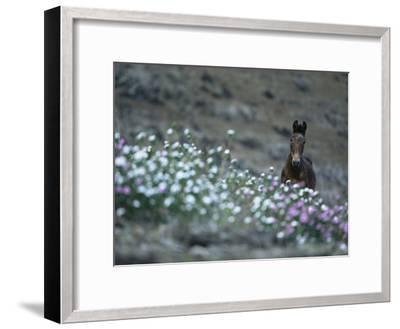 A Wild Horse on a Wildflower-Covered Hillside-Tim Laman-Framed Photographic Print