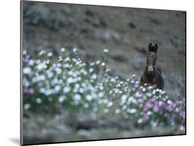 A Wild Horse on a Wildflower-Covered Hillside-Tim Laman-Mounted Photographic Print