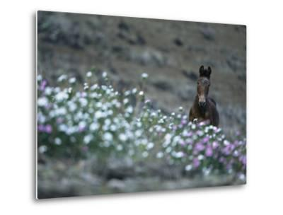 A Wild Horse on a Wildflower-Covered Hillside-Tim Laman-Metal Print