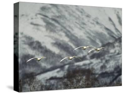 A Group of Whooper Swans in Flight-Klaus Nigge-Stretched Canvas Print