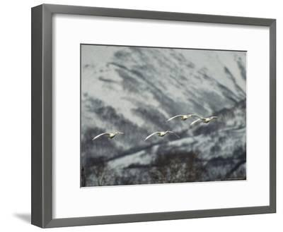 A Group of Whooper Swans in Flight-Klaus Nigge-Framed Photographic Print