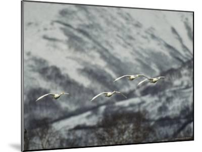 A Group of Whooper Swans in Flight-Klaus Nigge-Mounted Photographic Print