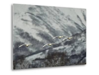 A Group of Whooper Swans in Flight-Klaus Nigge-Metal Print