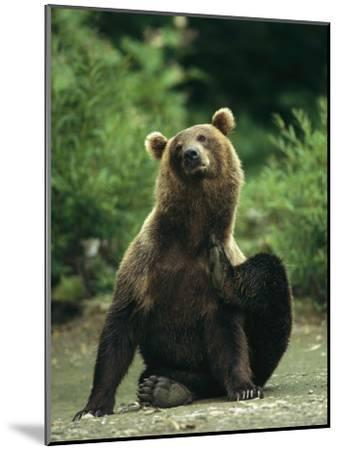 A Brown Bear Scratching an Itch-Klaus Nigge-Mounted Photographic Print