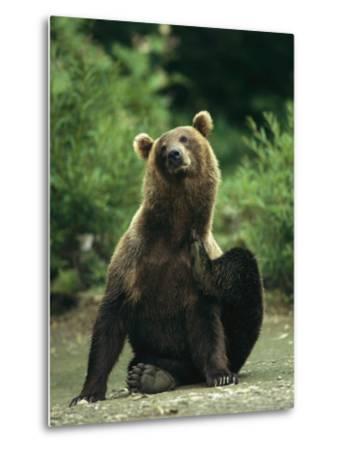 A Brown Bear Scratching an Itch-Klaus Nigge-Metal Print