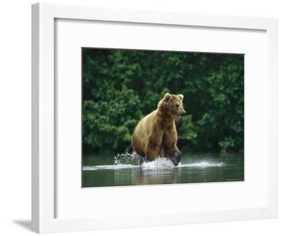 A Brown Bear Splashing in Water as it Hunts Salmon-Klaus Nigge-Framed Photographic Print