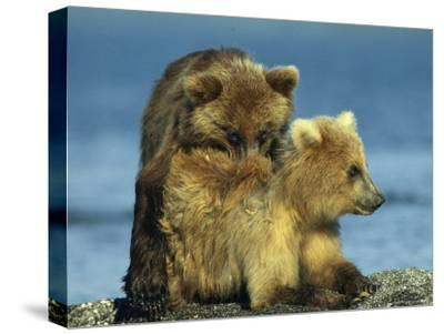 A Brown Bear Cubs Resting on a Sand Bar in a River-Klaus Nigge-Stretched Canvas Print