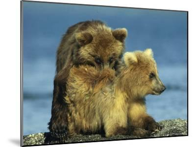 A Brown Bear Cubs Resting on a Sand Bar in a River-Klaus Nigge-Mounted Photographic Print