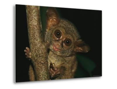 A Tarsier Eating an Insect in a Tree-Tim Laman-Metal Print