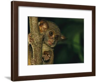A Tarsier Eating an Insect in a Tree-Tim Laman-Framed Photographic Print